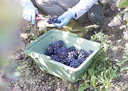 Champagne Bourdaire Gallois - Récolte du raisin