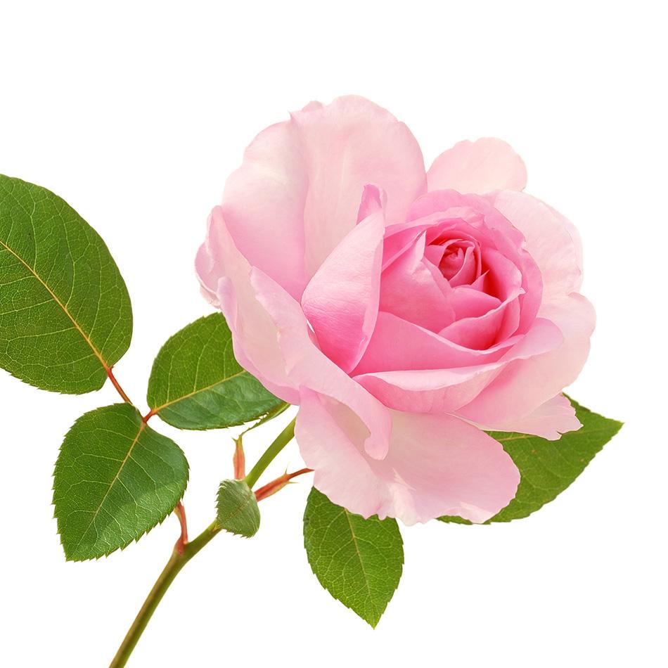 senteur rose senteur figue - Champagne Bourdaire-Gallois
